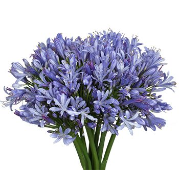 agapanthus-website-hs_500x333