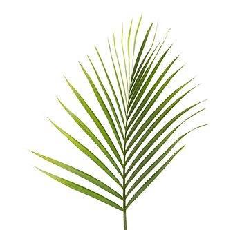 areca-palm-website-hs_500x333