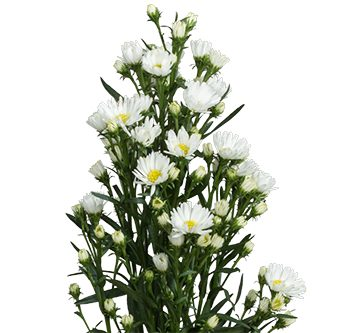 aster-white-website-hs_500x333