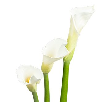 calla-white-website-hs_500x333