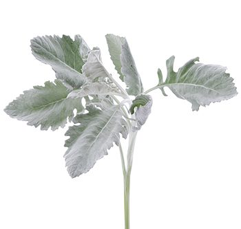 dusty-miller-silver-cloud-hs_500x333