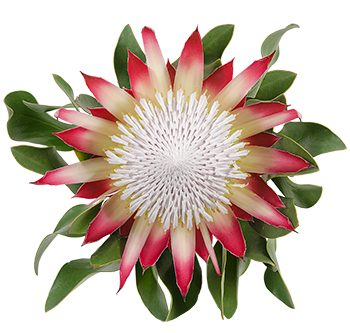 king-protea-madiba-website-hs_500x333