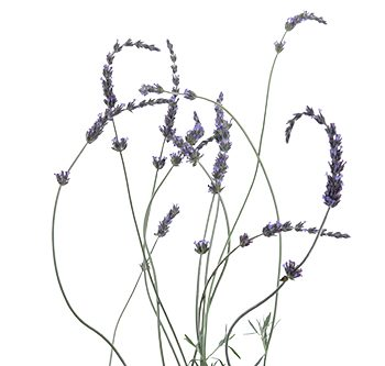 lavender-website-hs_500x333