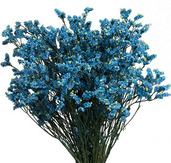 light-blue-limonium-website-hs_500x333