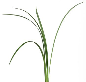lily-grass-website-hs_500x333