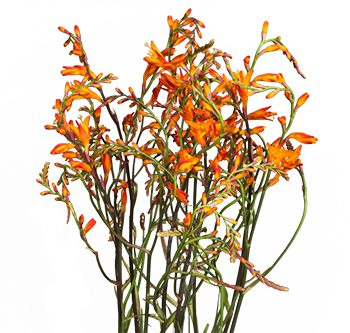 orange-crocosmia-website-hs_500x333