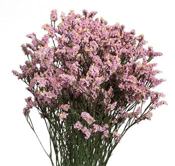 pink-limonium-website-hs_500x333