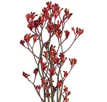 red-kangaroo-paw-website-hs_500x333