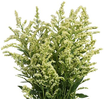 solidago-estelle-website-hs_500x333