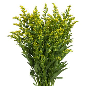 solidago-golden-glory-website-hs_500x333