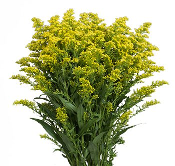 solidago-tara-website-hs_500x333