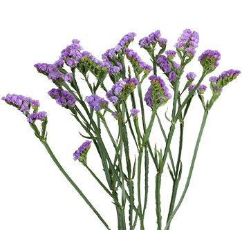 statice-lavender-website-hs_500x333
