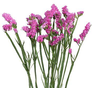 statice-pink-website-hs_500x333