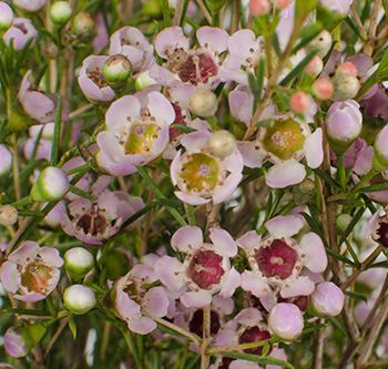waxflower-pink-website-hs_500x333