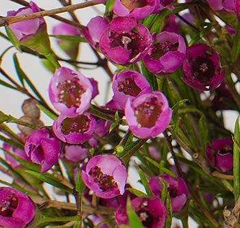 waxflower-purple-website-hs_500x333