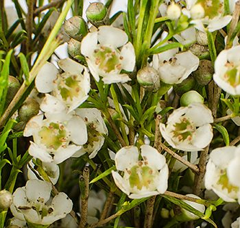 waxflower-white-website-hs_500x333