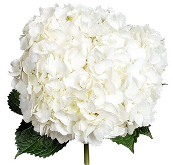 white-hydrangea-website-hs_500x333