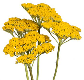 yellow-yarrow-website-hs_500x333