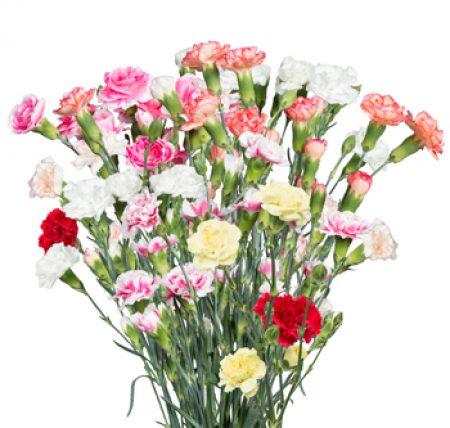 Carnation Mini