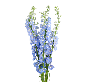 main_delphinium-triton-light-blue
