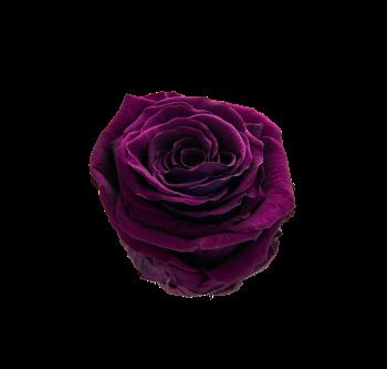 19_PurpleEchium copy