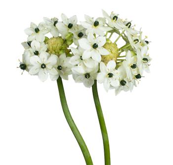Top Arabicum - Royal Flowers #BV_61