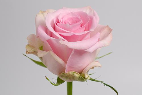 Jessika Royal Flowers