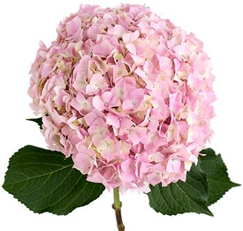 Pink lemonade royal flowers pink lemonade mightylinksfo