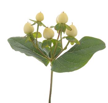super white royal flowers. Black Bedroom Furniture Sets. Home Design Ideas