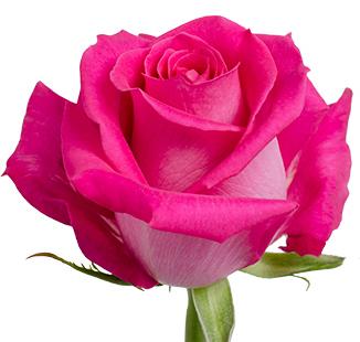 Pink floyd royal flowers pabloom size mightylinksfo