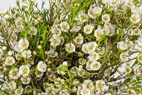 White Royal Flowers
