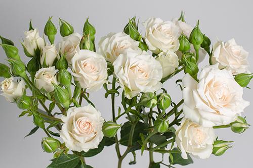 White Mikado Royal Flowers