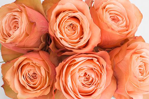 kahala - Peach Garden Rose
