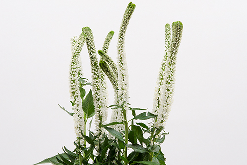 Skyler White Veronica Royal Flowers