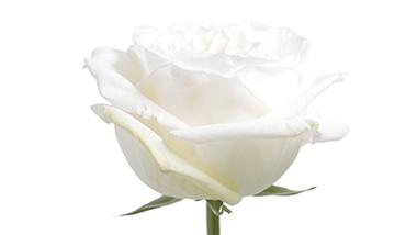 White Ou0027Hara