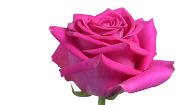 Pink floyd royal flowers pink floyd mightylinksfo