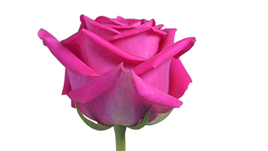 Pink Floyd Royal Flowers