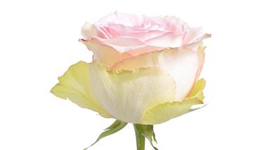 esperance royal flowers